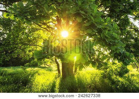 Close-up View Sunbeams Through Green Branches Of Large Tree On Summer Sunny Morning. Summer Backgrou