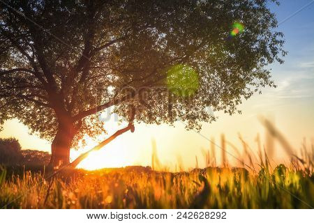 View On Big Tree In Meadow At Sunset. Grass Glows With Golden Warm Sunlight. Under Green Tree In Sum
