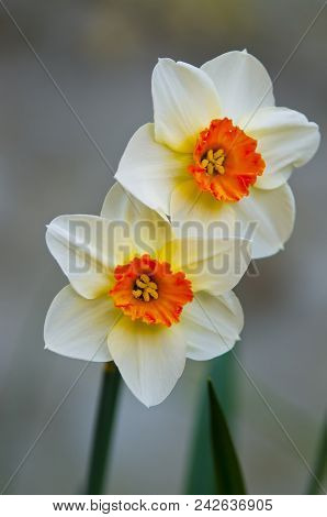Mating Pair: Two Narcissus Flowers Together, France