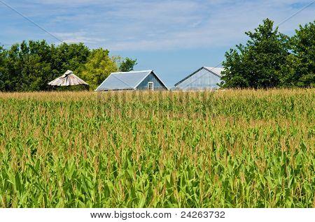 Corn Field, And Barns