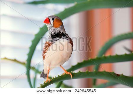 Zebra Finch, The Pet Bird Sits On An Aloe Branch.
