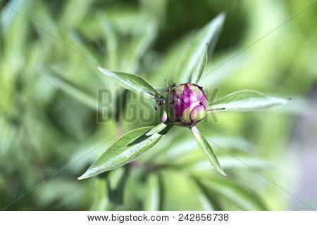 Close-up Of Pink Peony Flower Bud. Peony Flower, Close-up. Pink Peony Flower.close Up