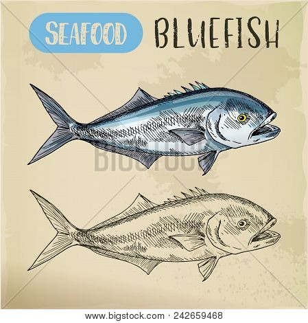 Seafood Sketch Of Bluefish Or Australia Tailor, South Africa Elf Or Natal Shad. Ocean Or Sea Food Si