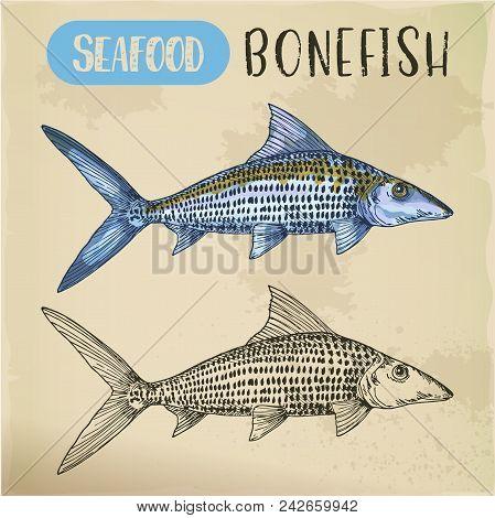 Bonefish Sketch For Emblem Or Signboard For Vegetarian Seafood. Ocean Or Sea, River Underwater Fish.