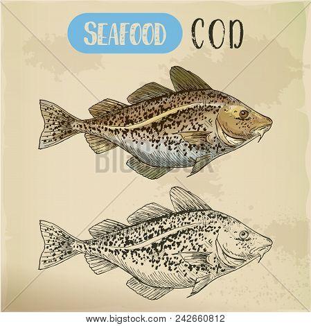 Atlantic Or Pacific Cod Sketch. Hand Drawn Alaska Pollock. Signboard For Seafood Market Or Restauran