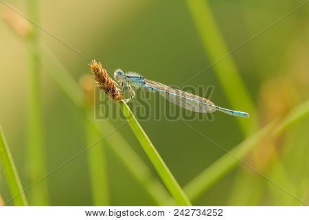 The Dainty Damselfly-coenagrion Scitulum, Also Known As The Dainty Bluet, Is A Blue Damselfly Of The