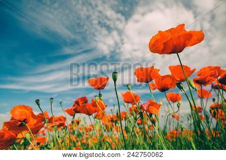 Poppy Flowers Retro Vintage Summer Background, Shallow Depth Of Field With Red Flowers Over Green Ba