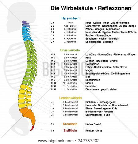 Backbone reflexology chart with accurate description of the corresponding internal organs and body parts, and with names and numbers of the vertebras. GERMAN LANGUAGE. poster