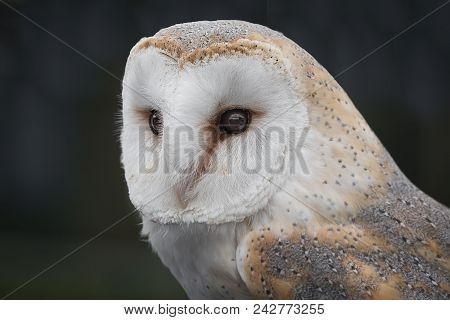 A Close Up Three Quarter Profile Photograph Of A Barn Owl Staring To The Left And Looking Alert