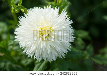 Aster Flowers In Green Garden. Aster Blossom On Blurred Natural Background. Blossoming Flowers With