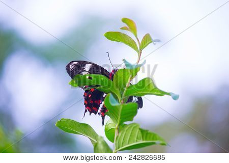 Papilio Polytes, The Common Mormon, Is A Common Species Of Swallowtail Butterfly Widely Distributed