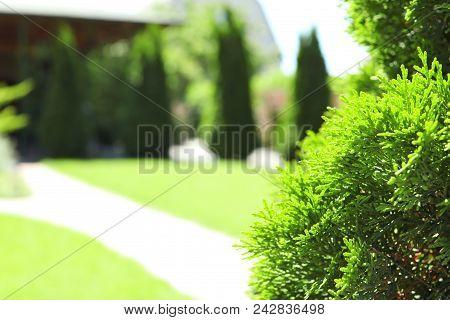 Green Conifer Bush In Beautiful English Style Garden On Sunny Day