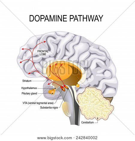 Dopamine Hypothesis Of Schizophrenia. Dopamine Pathway Dysfunction. Humans Brain With Dopamine Pathw