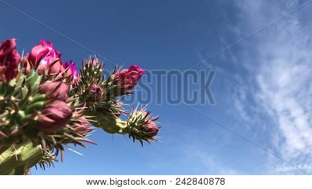 Low Angle Shot Of Cholla And Prickly Pear Cacti With Beautiful Flowers Over Blue Sky And Clouds Back