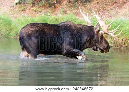 Moose In Fishercap Lake In The Many Glacier Region Of Glacier National Park  In Montana United State