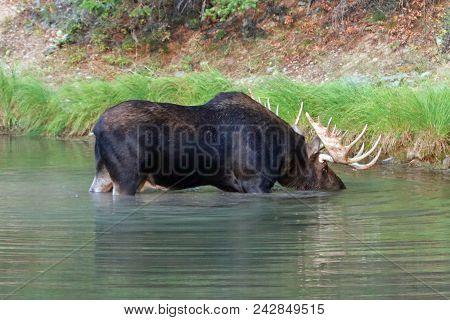 Bull Moose In Fishercap Lake In The Many Glacier Region Of Glacier National Park  In Montana United