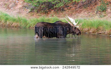 Bull Moose Near Shore Of Fishercap Lake In The Many Glacier Region Of Glacier National Park  In Mont