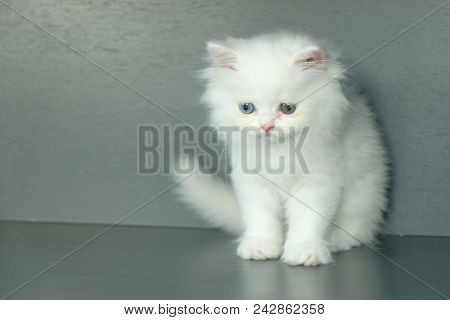 White Fluffy Adorable Cat With Different Blue And Green Eyes Color, Sitting On The Floor And Looking
