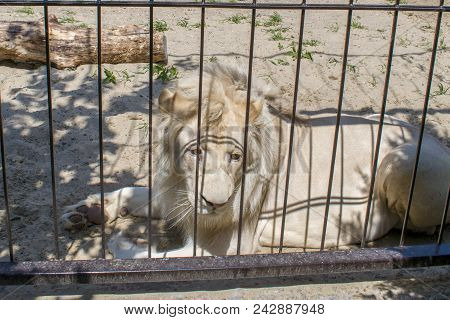 A White Lion In A Cage. The Lion Lies In A Cage