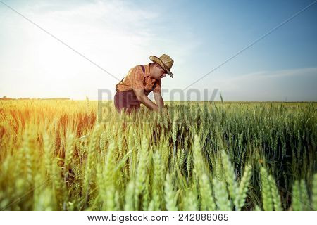 Farmer Checking The Quality Of Wheat With Magnifying Glass On The Blue Sky