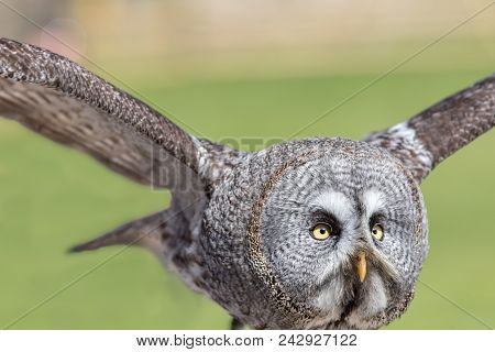 Great grey owl (Strix nebulosa). Close up of face in flight. The largest facial disc of all birds in close-up. Great gray owl bird of prey flying. Nature and wildlife image. poster