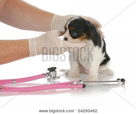 veterinary care - cavalier king charles spaniel puppy being examined by veterinarian on white background