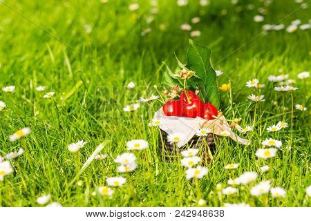 Few Fresh Red Cherries In Vintage Tin Among Many Daisies