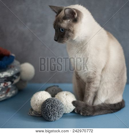 Thai Cat On A Gray Background Near Tangles Of Yarn For Yarn