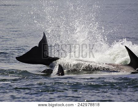 Killer Whales Are Jumping On The Surface In The Water