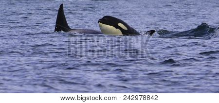 A Killer Whale Is Looking On The Surface For Something