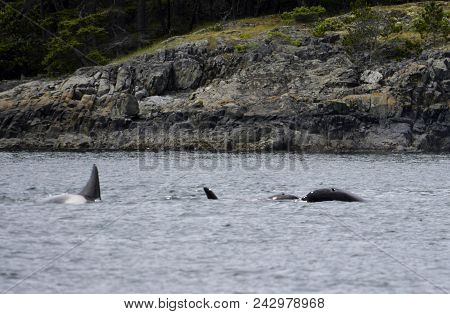 Killer Whales On The Surface Are Playing