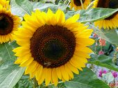 A blooming sunflower (Helianthus annuus) in sunlight on the fruit body is a honey bee. poster