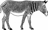 Zebra. Contour. Vector illustration. It is isolated on a white background. poster