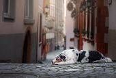 Obedient dog on the street, Europe, old city. Australian Shepherd poster