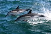 Pair of Common Dolphins jumping out of the water poster