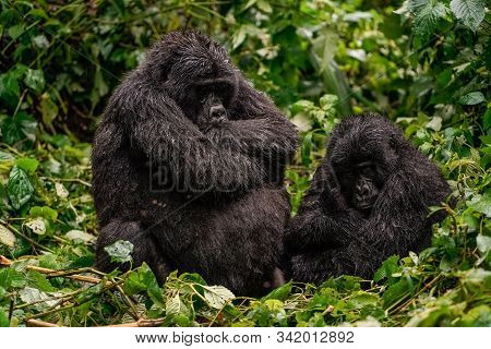 A Black Gorilla With A Baby Frowned With Displeasure In The Wild Deep In The Jungle