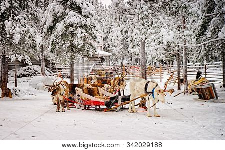 Reindeer Sled At Winter Snow Forest In Rovaniemi Finland Lapland
