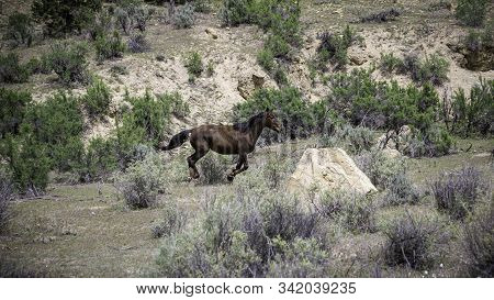 Wild Mustangs On The Western Slope Of The Colorado Plateau.