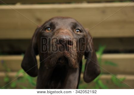 A German Shorthaired Pointer Female, 11 Months Old