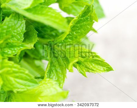Harvesting Bunch Of Fresh Mint Leaves In The Garden. Peppermint Sprig On Rustic Weathered Wooden Tab