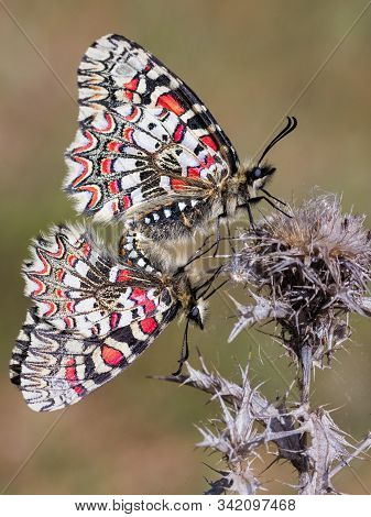 Zerynthia Rumina. Butterflies Copulating In Their Natural Environment.