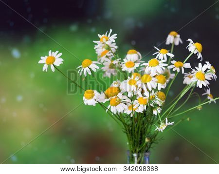 White Daisy Flower Bouquet On Green Background. Summer Time Concept. Harvest Of Organic Herbs.