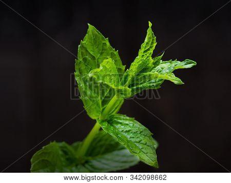 Harvesting Fresh Mint Leaves In The Garden. Peppermint Sprig On Dark Background
