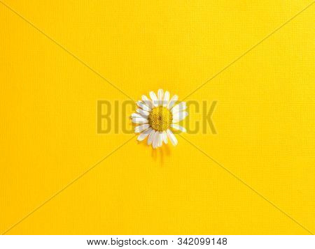 Single Chamomile Flower On A Bright Yellow Paper Background. Top View