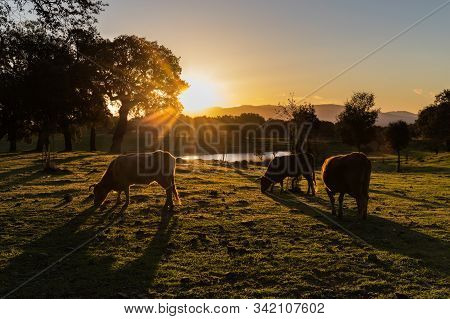 Landscape At Sunrise With Cows Grazing. Extremadura.