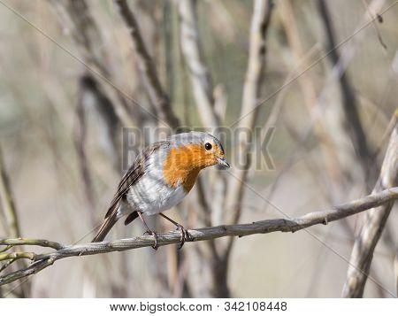 The European Robin In Their Natural Environment.