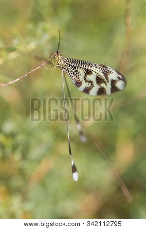 Nemoptera Coa Is A Palearctic Genus Of Insects Of The Family Nemopteridae Or Spoonwings.