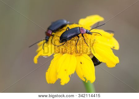 Lema Melanopa. The Cereal Leaf Beetle (oulema Melanopus) Is A Significant Crop Pest, Discovered By C