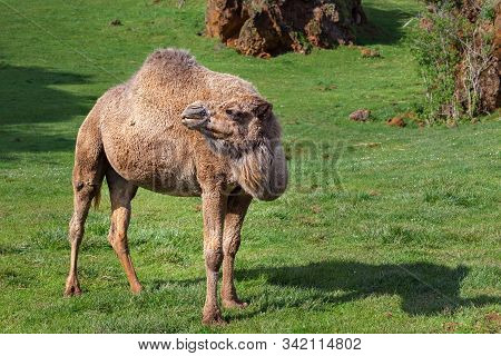 The Dromedary, Also Called The Arabian Camel, Is Large And With A Single Hump On The Back.