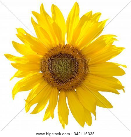 Sunflower Blossom On White Isolated Background. Yellow Sunflower Or Common Sunflower. Ornament For B